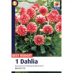 Dahlia Decorative Musette - Georgin