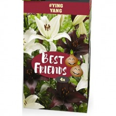 Liljer Ying Yang - 4 løg Best Friends Box