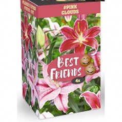 Liljer Best Friends Box Pink Clouds - 4 løg