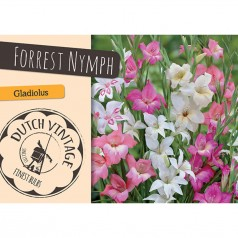 Gladiolus Forest Nymph - 20 Løg - Dutch Vintage