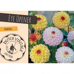 Dahlia Eye Opener - Georgin 2 stk - Dutch Vintage