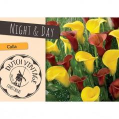 Calla Night & Day - 2 løg - Dutch Vintage