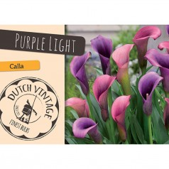 Calla Purple Light - 3 løg - Dutch Vintage