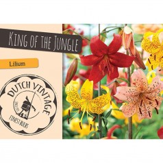 Liljer King of the Jungle - 3 løg - Dutch Vintage
