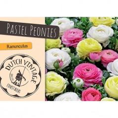 Ranunkel Pastel Peonies - 15 løg - Dutch Vintage