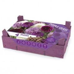 Dahlia The Purple Crate - Georgin - 4 stk.