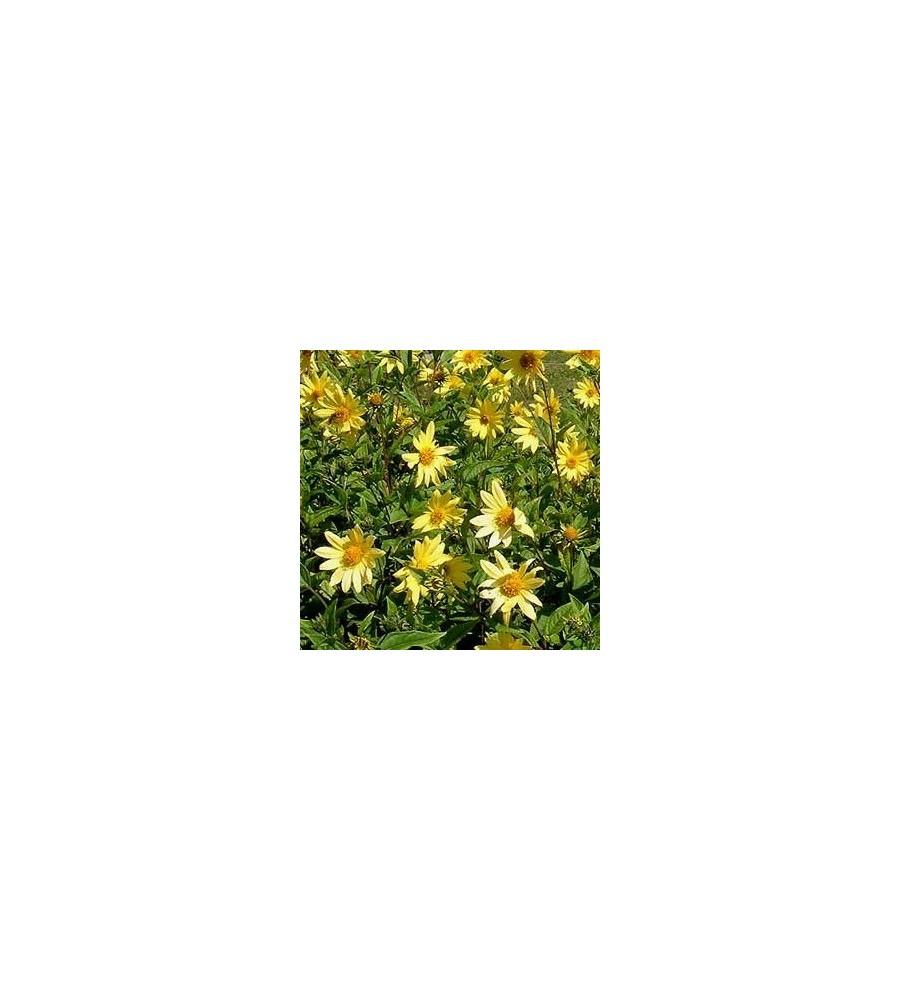 Helianthus hybrid Lemon Queen / Staude Solsikke
