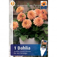 Dahlia Patio Go-Go Orange - Georgin
