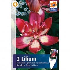 Liljer Pollenfri - Asiatic Dobbelt - Lilium Double Sensation - 2 løg