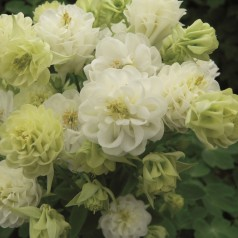 Aquilegia vulgaris Winky Double White / Akeleje