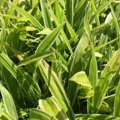 Carex siderostica Variegata / Stribet Star