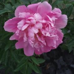 Paeonia lactiflora Monsieur Jules Elie / Silkepæon