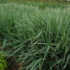 Phalaris arundinacea - Rørgræs