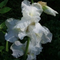 Iris germanica Immortality / Iris
