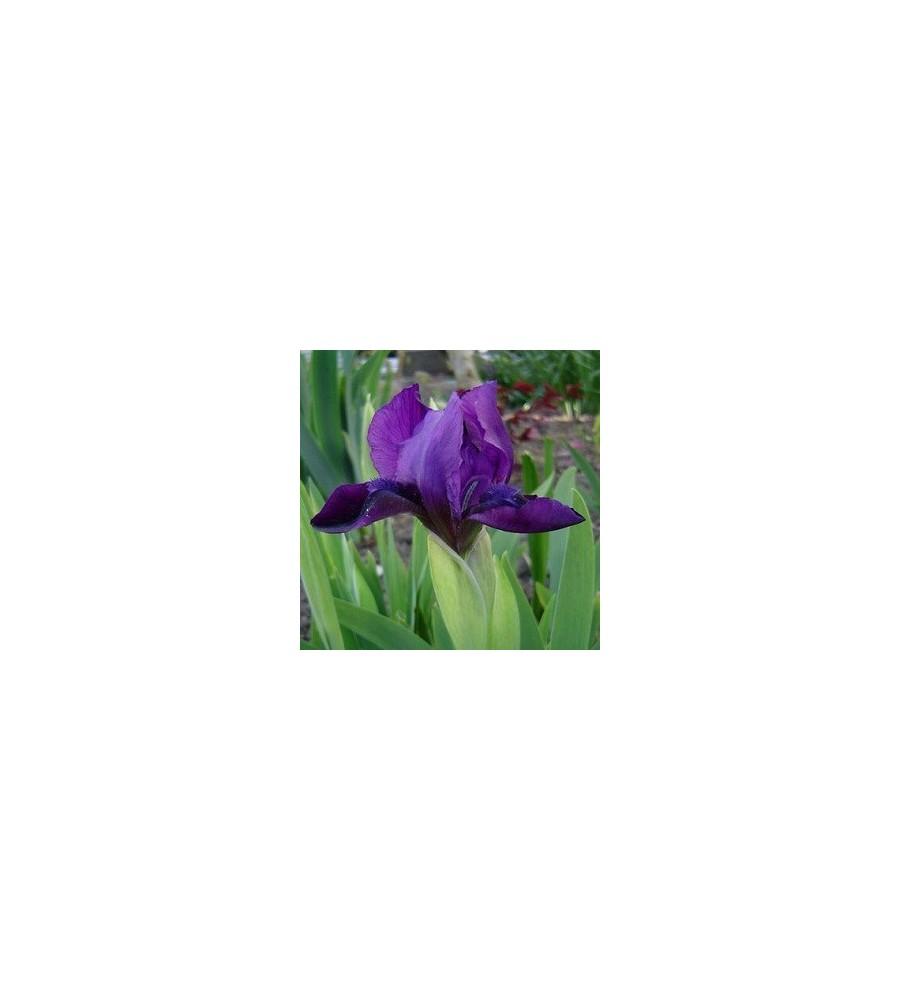 Iris pumila Velvet Carpet / Dværgiris