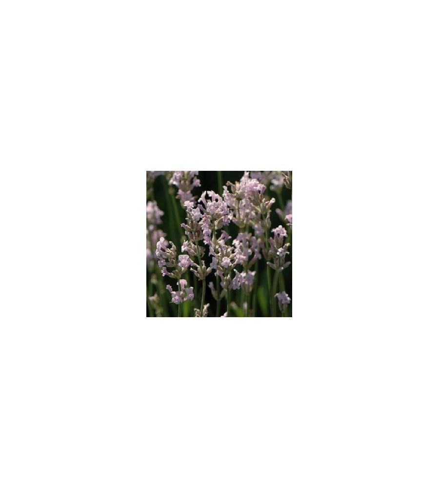 Lavandula angustifolia Rosea / Lavendel