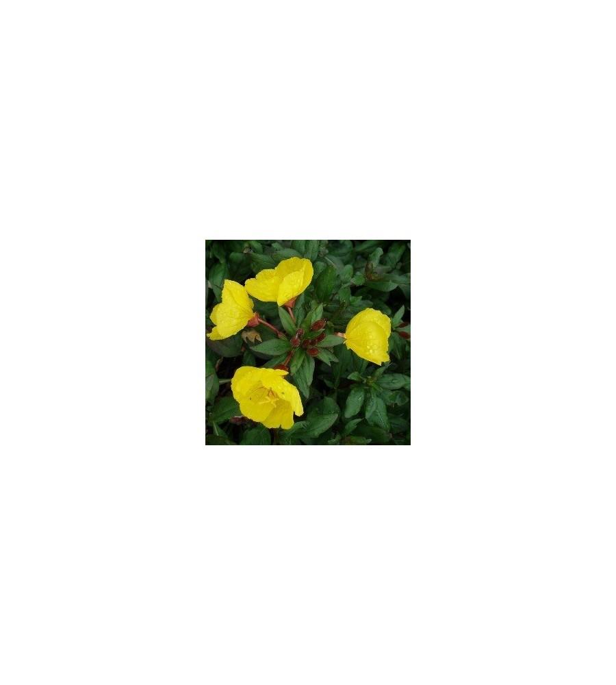 Oenothera tetragona Hohes Licht / Natlys