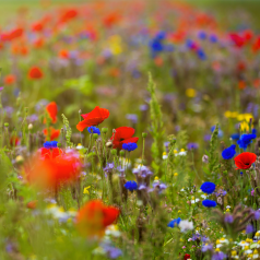 Blomstermarksblanding, ét & flerårige - 200g