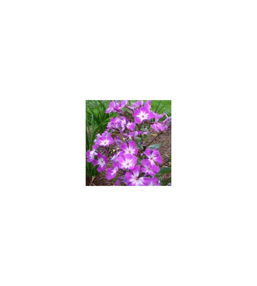 Phlox paniculata Uspech / Høstfloks