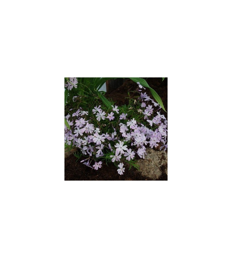 Phlox subulata Emerald Cushion Blue / Lyngfloks