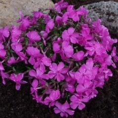 Phlox subulata Mac Daniel's Cushion / Lyngfloks