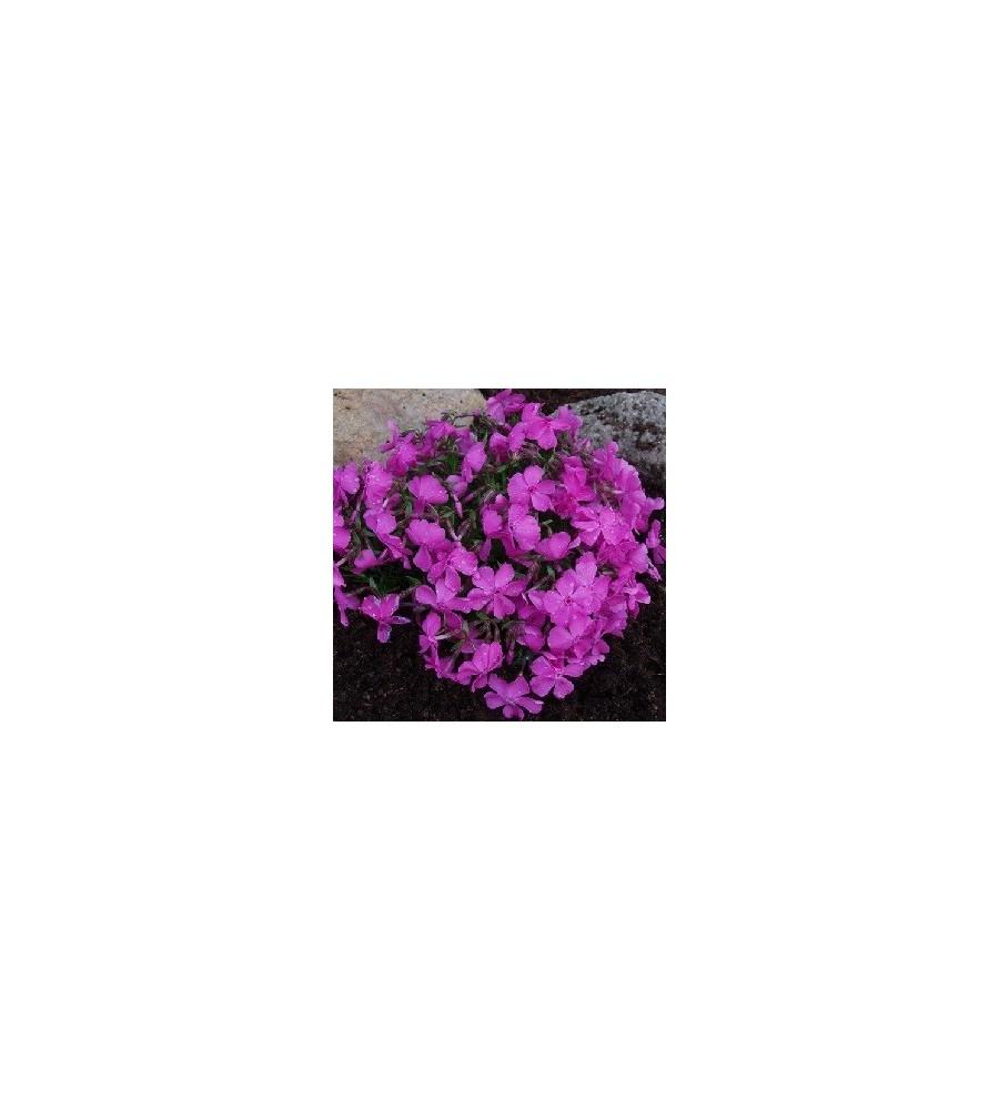 Phlox subulata Mac Daniel's Cushion / Lyngfloks