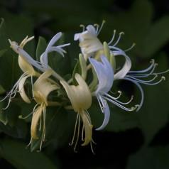 Lonicera japonica Halls Prolific - Kaprifolie