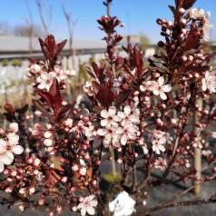Prunus cistena - Dværg Blodblomme / 50 cm. stamme.
