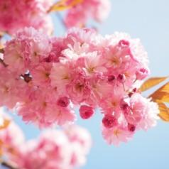 Prunus serrulata Kanzan - Japansk Kirsebær / 50 cm stamme.