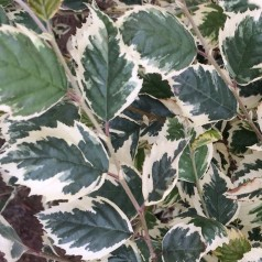 Betula nigra Shiloh Splash - Pyramideformet Hvidrandet Birk - 125-150 cm.