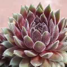 Sempervivum hybrid Ambergreen / Husløg