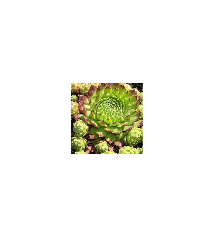 Sempervivum hybrid Filiforme / Husløg