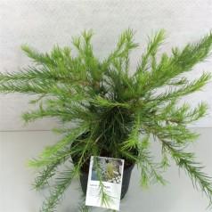 Larix laricina Arethusa Bog - Dværg Lærk