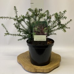 Podocarpus alpinus Chocolate Box - Sydtaks
