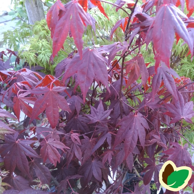Acer palmatum Atropurpureum / Japansk Løn / Japansk Ahorn