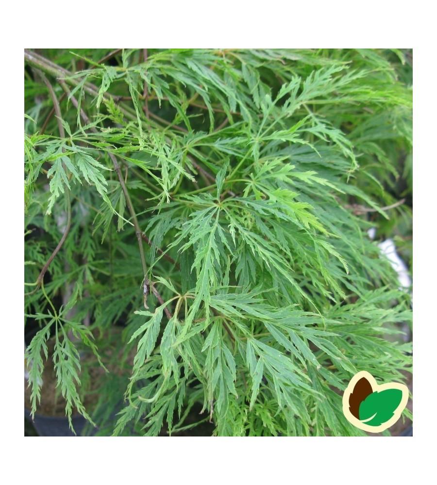 Acer palmatum Dissectum / Japansk Løn / Japansk Ahorn