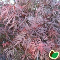 Acer palmatum Dissectum Garnet / Japansk Løn / Japansk Ahorn