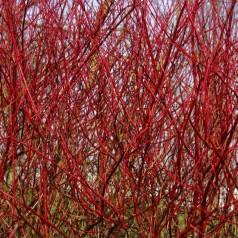 Rødgrenet Kornel 50-80 cm. - Bundt med 10 stk. barrodsplanter - Cornus alba Sibirica