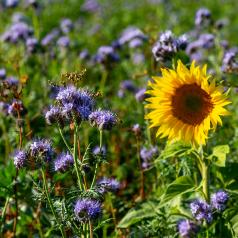 Blomster- & Bestøverbrak 1 - 10kg frø