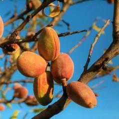 Sødmandel - Prunus amygdalus Sødmandel