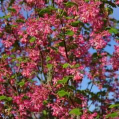 Ribes sanguineum Amore - Blodribs