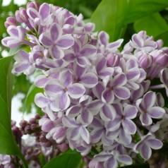 Syringa vulgaris Lila Wonder - Storblomstret Syren
