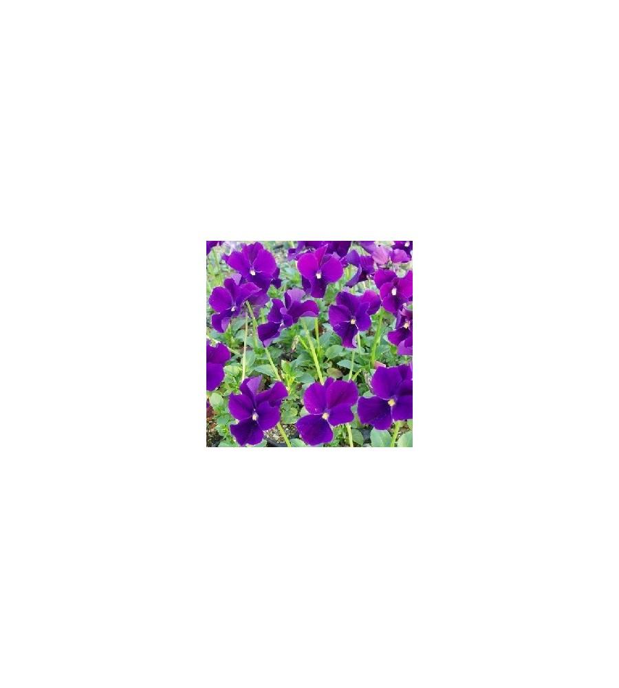 Viola cornuta Hansa / Hornviol