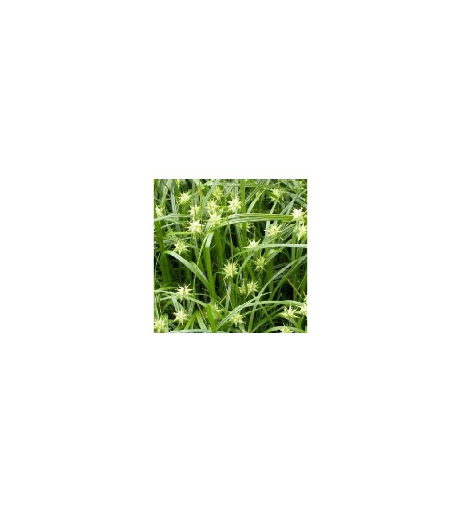 Carex grayii / Morgenstjernestar