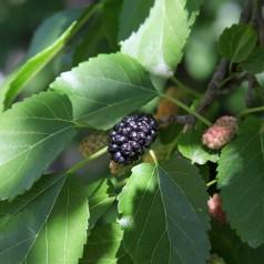Dværgmorbær Mojo Berry - 50 cm. stamme - Morus rotundifolia Mojo Berry