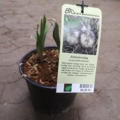 Elefant Hvidløg - Porreløg - Allium ampeloprasum
