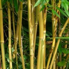 Kæmpe bambus - Phyllostachys aureosulcata Aureocaulis