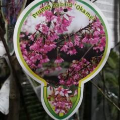 Prunus Okame - Japansk Bjergkirsebær