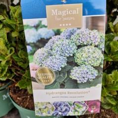 Hydrangea macrophylla Magical Revolution / Hortensia