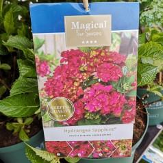 Hydrangea macrophylla Magical Sapphire / Hortensia